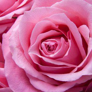 roses-194117_640